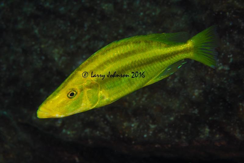 Dimidiochromis compressiceps taken at Linganjala Reef