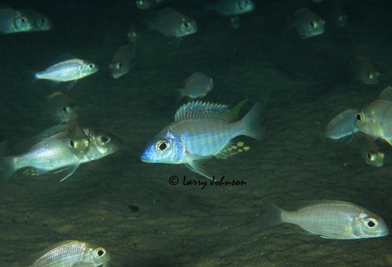 Aulonocara brevinidus at Masimbwe Islet